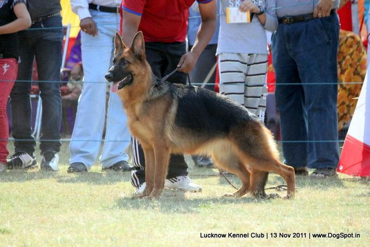 ex-265,gsd,sw-43,, ALENA, German Shepherd Dog, DogSpot.in
