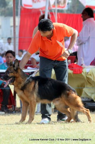 ex-257,gsd,sw-43,, ZAMBO, German Shepherd Dog, DogSpot.in