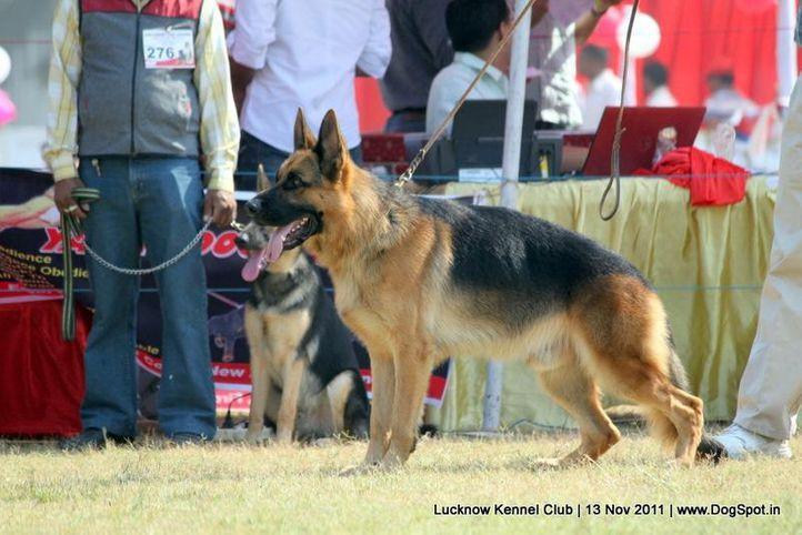 ex-249,gsd,sw-43,, DARIO VON DER PISTE TROPHE, German Shepherd Dog, DogSpot.in