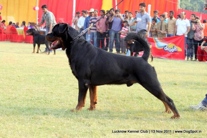 ex-237,rottweiler,sw-43,, UGO VON HAUS ENGEL, Rottweiler, DogSpot.in