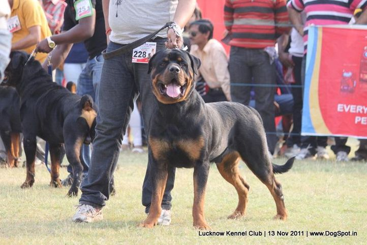 ex-228,rottweiler,sw-43,, DENSDARK'S FIRM FIGHTER, Rottweiler, DogSpot.in