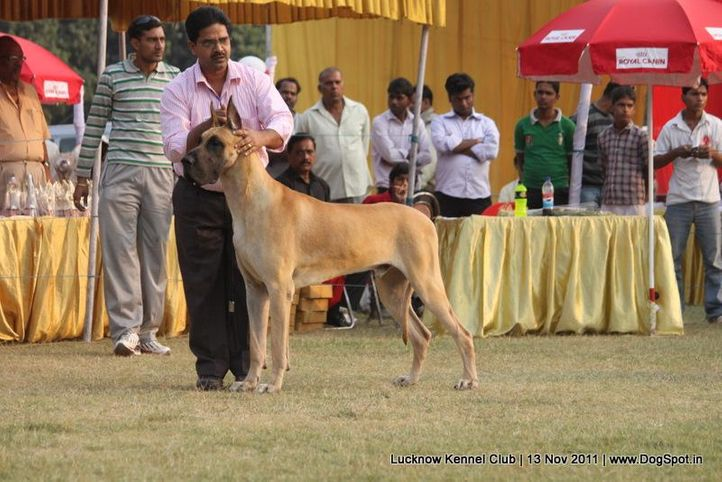 ex-201,great dane,sw-43,, RAODANE'S HUNK, Great Dane, DogSpot.in