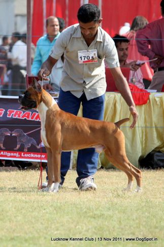 boxer,ex-170,sw-43,, WALGRE'S RED CORAL, Boxer, DogSpot.in