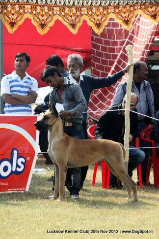 great dane,sw-71,, Lucknow Dog Show 2012, DogSpot.in
