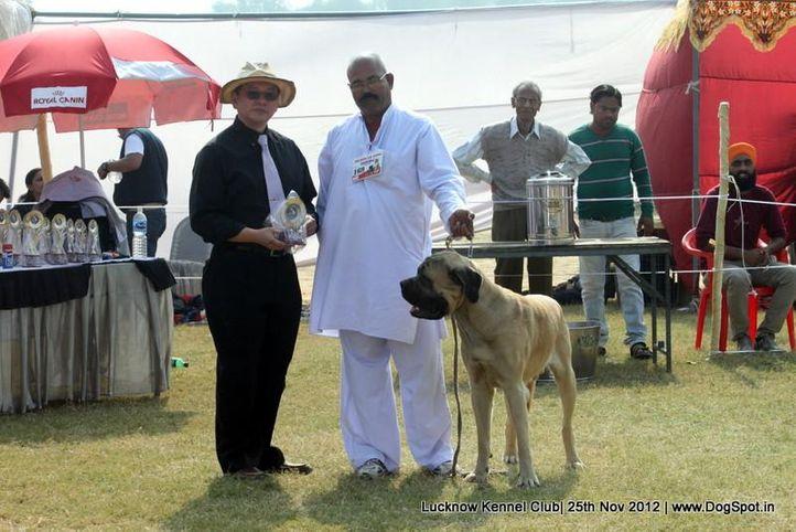 bull mastiff english,ex-169,sw-71,, ZACK, Mastiff- English, DogSpot.in