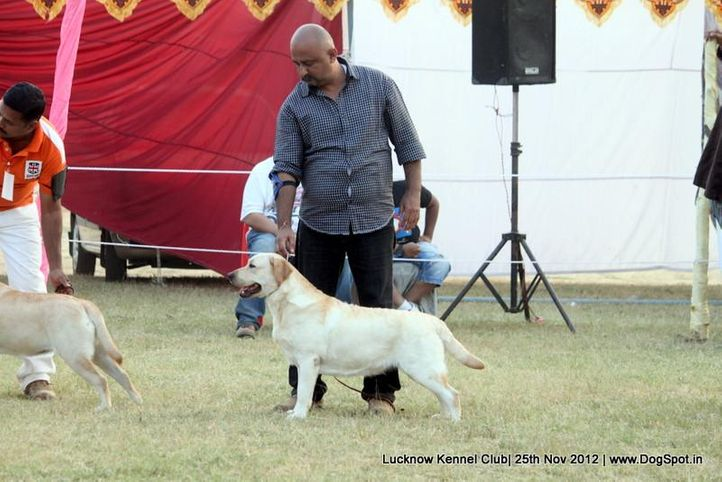 ex-112,labrador retriever,sw-71,, GOLDEN GIRL OF SUNNYLAND, Labrador Retriever, DogSpot.in