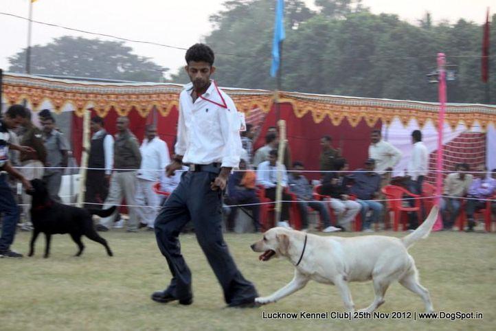 labrador retriever,sw-71,, Lucknow Dog Show 2012, DogSpot.in