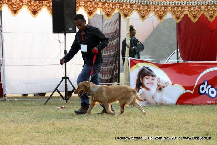 golden retriever,sw-71,, Lucknow Dog Show 2012, DogSpot.in
