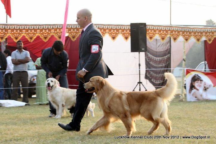 ex-65,golden retriever,sw-71,, PETER PAN DE ARERUNGUA, Golden Retriever, DogSpot.in