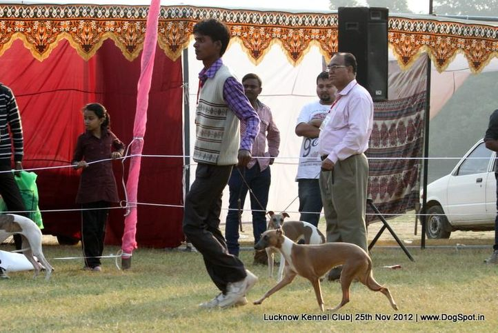 sw-71,whippet,, Lucknow Dog Show 2012, DogSpot.in