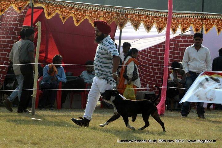 bull terrier,ex-118,sw-71,, HARSHMEET'S SHINNING BOY, Staffordshire Bull Terrier, DogSpot.in