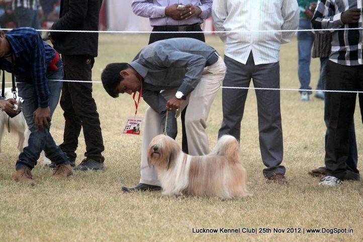 ex-127,lhasa apso,sw-71,, ROCK, Lhasa Apso, DogSpot.in