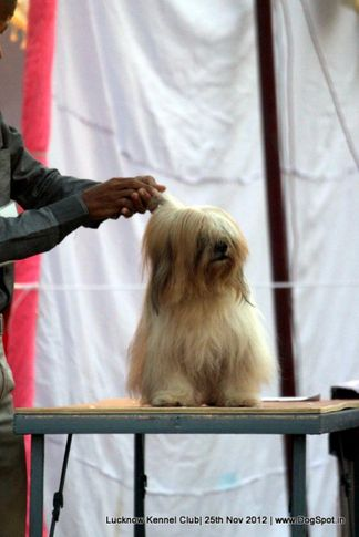 ex-127,lhasa apso,sw-71,, ROCK, Lhasa Apso, DogSpot.in