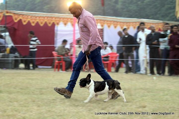 french bull dog,sw-71,, Lucknow Dog Show 2012, DogSpot.in