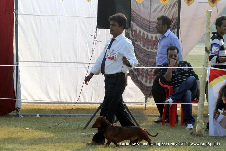 dachshund,ex-43,sw-71,, IND GR CH DEYWOO'S EACBALL, Dachshund Standard- Smooth Haired, DogSpot.in