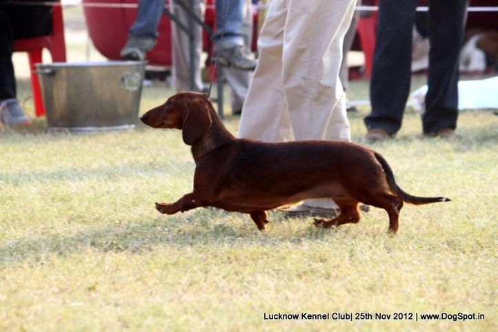 dachshund,ex-44,sw-71,, DEYWOO'S OOH LALA, Dachshund Miniature- Smooth Haired, DogSpot.in