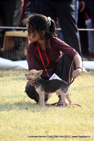chihuahua,ex-2,sw-71,, MACHO, Chihuahua (Long Coat), DogSpot.in