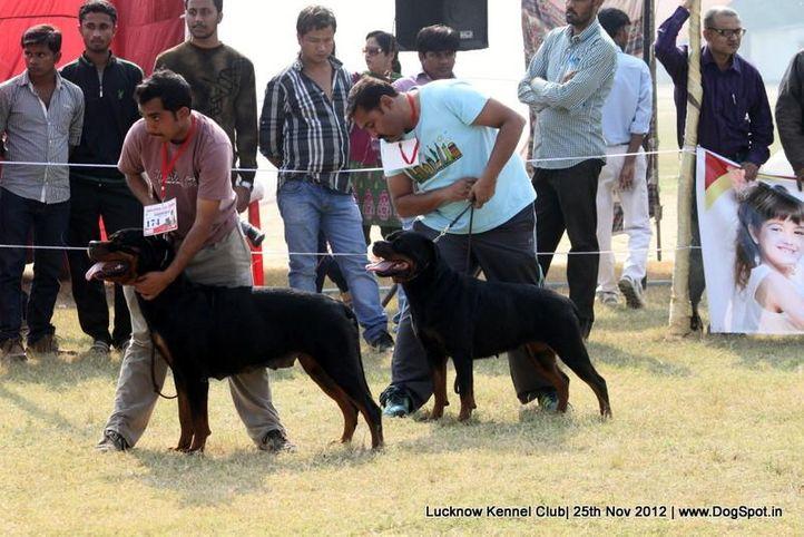 ex-174,rottweiler,sw-71,, MAZZA, Rottweiler, DogSpot.in