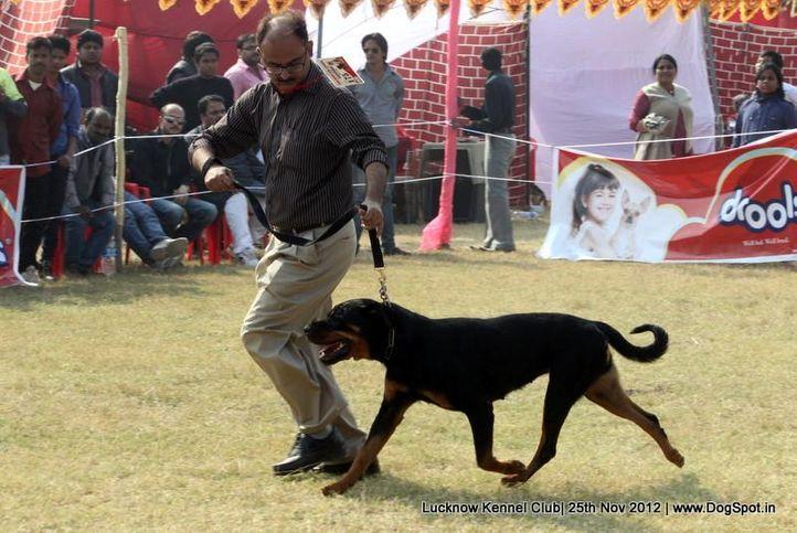 ex-175,rottweiler,sw-71,, DENSDARK'S FATAL ATTRACTION, Rottweiler, DogSpot.in