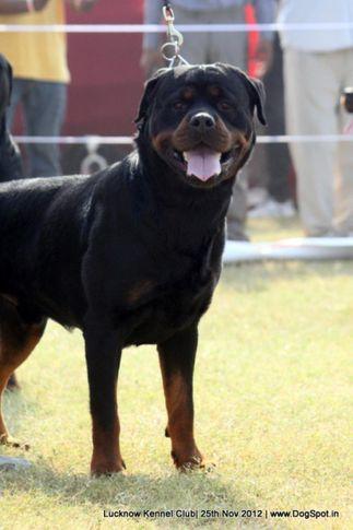 ex-173,rottweiler,sw-71,, NEO CRNI LOTOS, Rottweiler, DogSpot.in