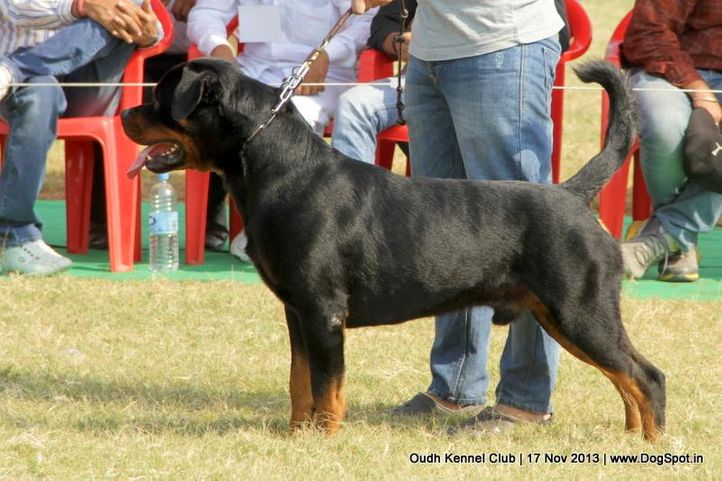 ex-177,rottweiler,sw-101,, Lucknow Dog Show 2013, DogSpot.in