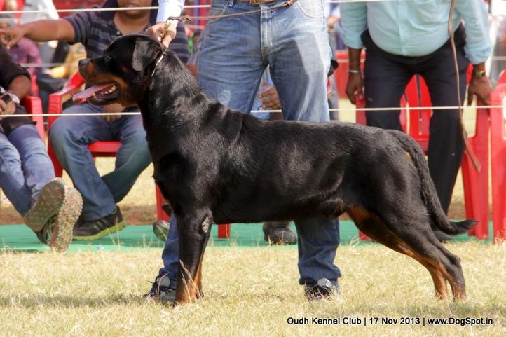 ex-180,rottweiler,sw-101,, Lucknow Dog Show 2013, DogSpot.in