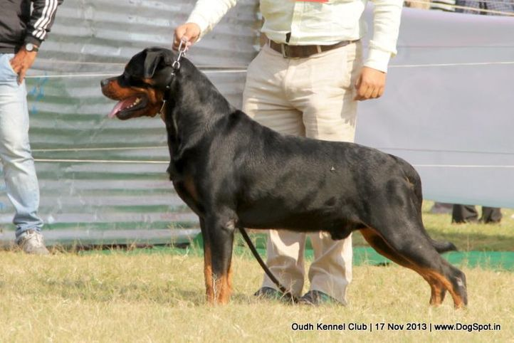 ex-187,rottweiler,sw-101,, Lucknow Dog Show 2013, DogSpot.in