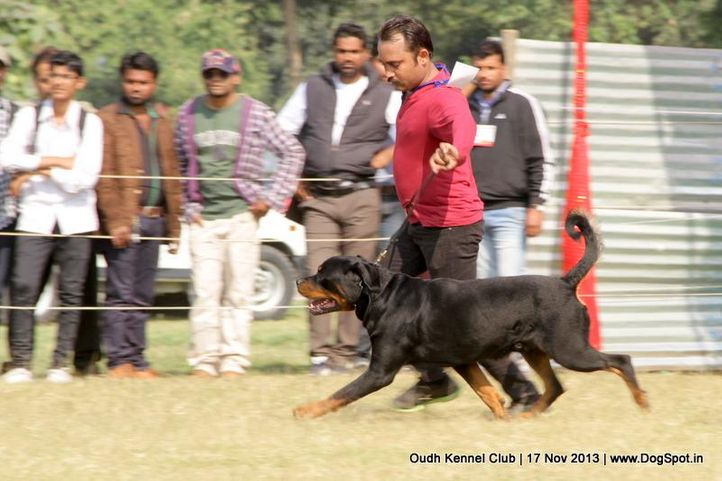 ex-175,rottweiler,sw-101,, Lucknow Dog Show 2013, DogSpot.in