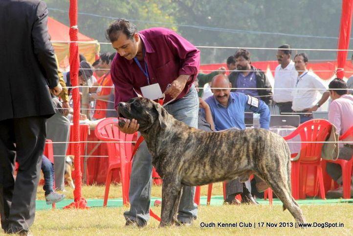 english mastiff,sw-101,, Lucknow Dog Show 2013, DogSpot.in