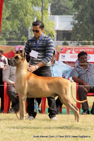 ex-160,great dane,sw-101,, Lucknow Dog Show 2013, DogSpot.in