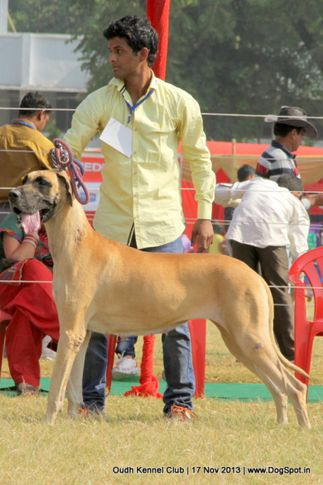 great dane,sw-101,, Lucknow Dog Show 2013, DogSpot.in