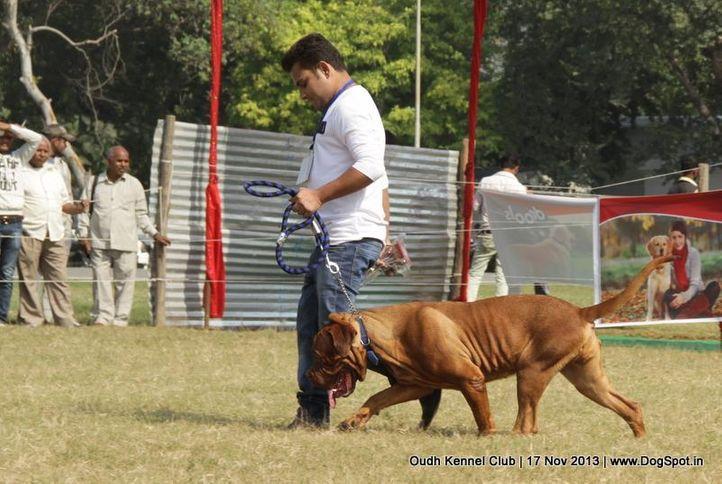 dogue de bordeaux,ex-155,sw-101,, Lucknow Dog Show 2013, DogSpot.in