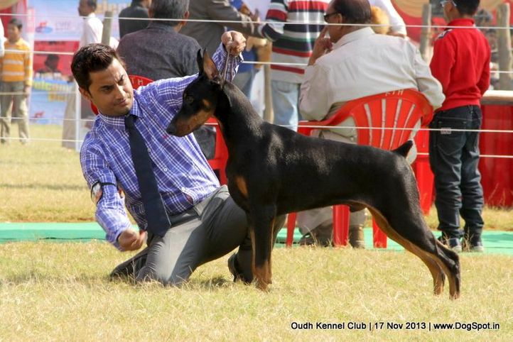 dobermann,ex-148,sw-101,, Lucknow Dog Show 2013, DogSpot.in