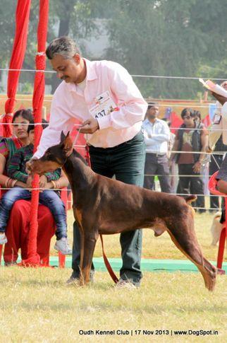 dobermann,ex-137,sw-101,, Lucknow Dog Show 2013, DogSpot.in