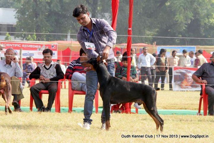 dobermann,ex-146,sw-101,, Lucknow Dog Show 2013, DogSpot.in