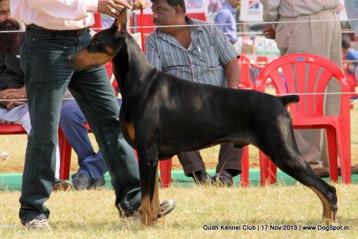 dobermann,ex-134,sw-101,, Lucknow Dog Show 2013, DogSpot.in