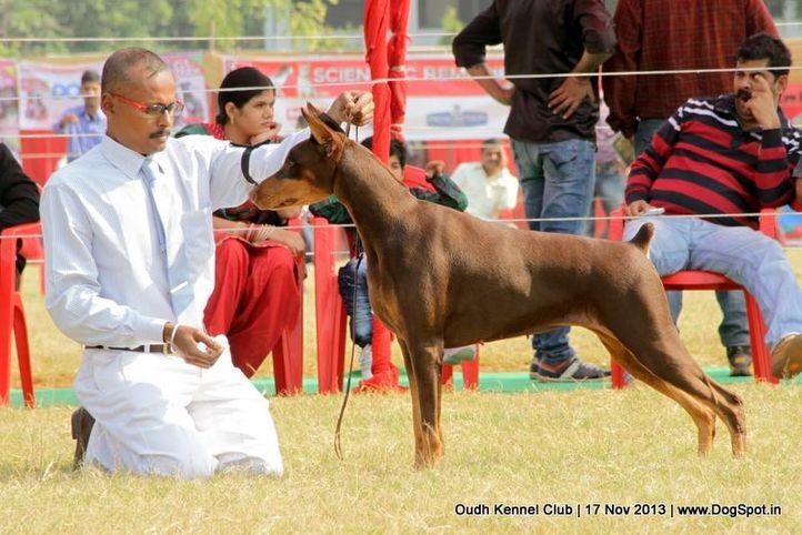 dobermann,ex-153,sw-101,, Lucknow Dog Show 2013, DogSpot.in