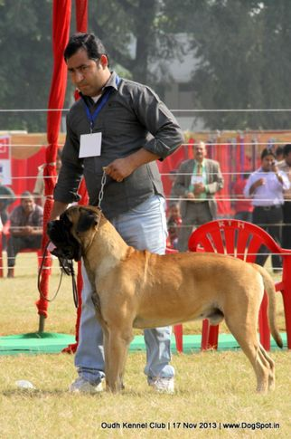 bull mastiff,ex-124,sw-101,, Lucknow Dog Show 2013, DogSpot.in