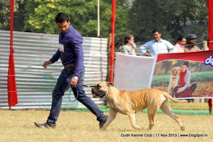 bull mastiff,ex-126,sw-101,, Lucknow Dog Show 2013, DogSpot.in