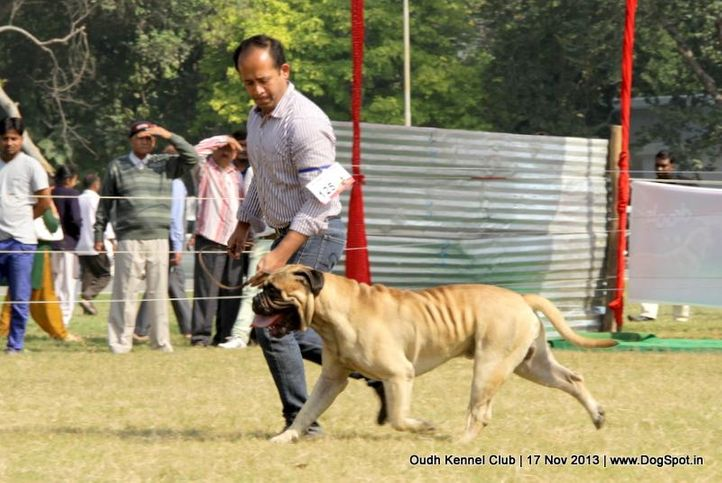 bull mastiff,ex-125,sw-101,, Lucknow Dog Show 2013, DogSpot.in