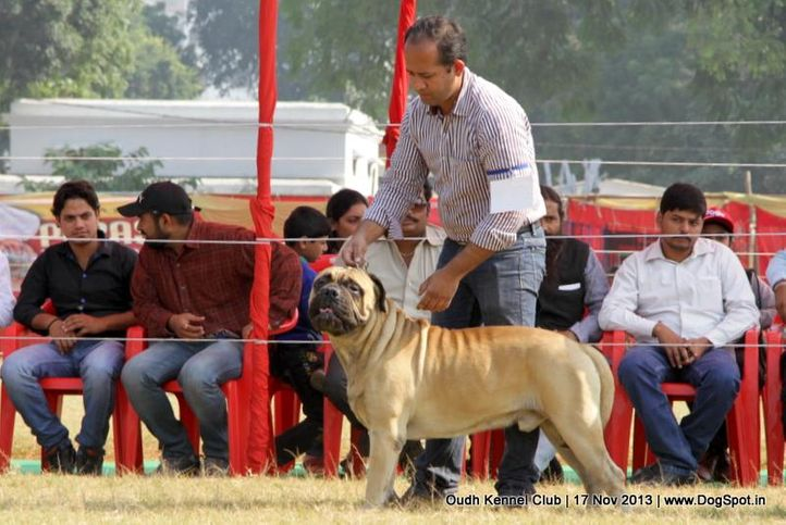 bull mastiff,ex-125,sw-101,, Lucknow Dog Show 2013, DogSpot.in