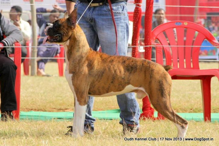 boxer,ex-120,sw-101,, Lucknow Dog Show 2013, DogSpot.in