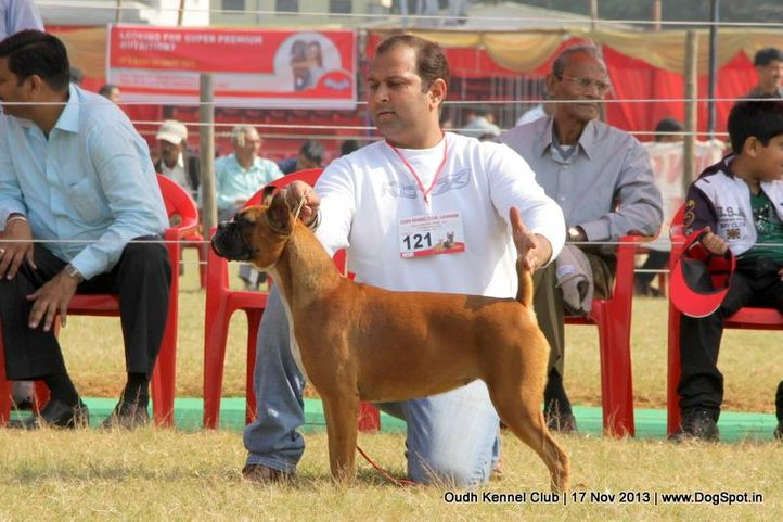 boxer,ex-121,sw-101,, Lucknow Dog Show 2013, DogSpot.in