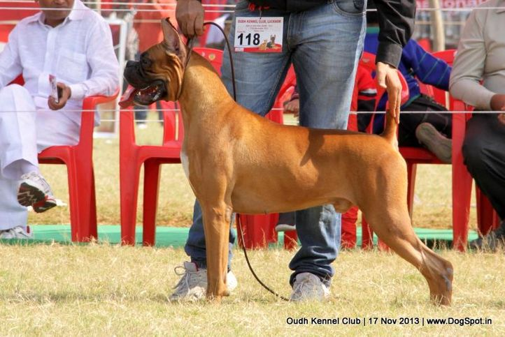 boxer,ex-118,sw-101,, Lucknow Dog Show 2013, DogSpot.in