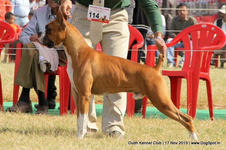 boxer,ex-114,sw-101,, Lucknow Dog Show 2013, DogSpot.in