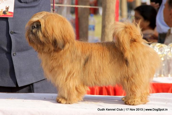 ex-108,lhasa apso,sw-101,, Lucknow Dog Show 2013, DogSpot.in