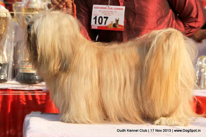ex-107,lhasa apso,sw-101,, Lucknow Dog Show 2013, DogSpot.in
