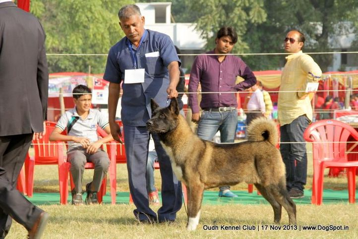 akita,ex-104,sw-101,, Lucknow Dog Show 2013, DogSpot.in