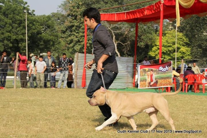 american staffordshire terrier,ex-101,sw-101,, Lucknow Dog Show 2013, DogSpot.in