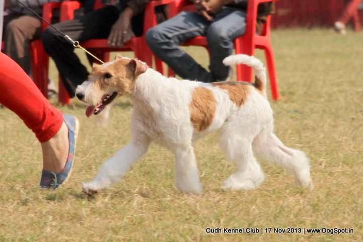 fox terrier,sw-101,, Lucknow Dog Show 2013, DogSpot.in